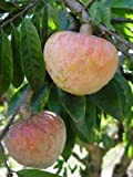 Annona Reticulata Bullocks Heart or Red Custard Apple Fruit 25 Seeds