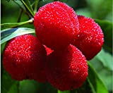Mr.seeds 10 Particles / Bag Arbutus Unedo Strawberry Tree Delicious Chinese Fruit Seeds For Healthy And Home Garden Easy Grow