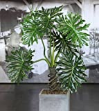 Lacy Tree Philodendron - (Philodendron Selloum) - 10 white small seeds