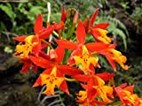 1 Rooted Cutting of Epidendrum Radicans Orange Ground Orchid