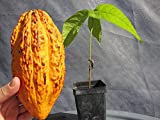 "1 Seeding PLANT 9"" TALL Theobroma Cacao Cocoa Chocolate Tropical Fruit Tree"