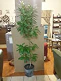 Jamaican All Spice Tree 3 FT 3 GAL Pot, Org