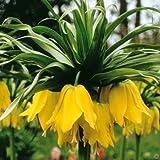 1 Imperialis Lutea Tall Fritillaria Bulb - Size 20-24cm