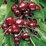 Dwarf Black Cherry Tree 15 Seeds Cherry Fruit Bearing Tree (Prunus serotina)