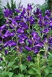 Campanula (Bellflower) latifolia Macrantha 1,000 seeds