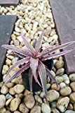 Cryptanthus Earth Star Bromeliad, Pink Starlight, Ruby Red Green (State Restrictions Apply), 4 Pack (3in Pot, Live Plant)
