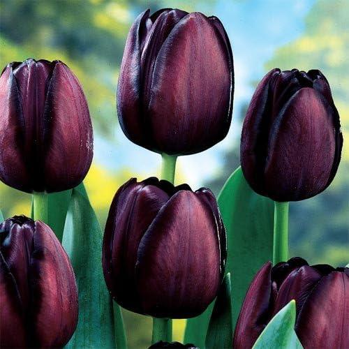 Tulip Mayflowering Queen of Night - 11-12 cm (10 Bulbs)
