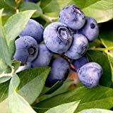 50 EUROPEAN BLUEBERRY SEEDS BILBERRY LOW BUSH RARE Sweet Vaccinium Myrtillus USA
