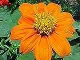 Tithonia rotundifolia Goldfinger | Mexican Sunflower | 100_Seeds