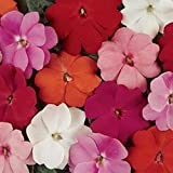 New Guinea Divine Seires Impatiens 20 Seeds Choose Solid Color or Colorful Mixes