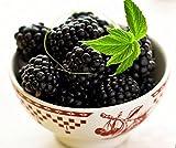 "Ohio Treasure Everbearing Black Raspberry - 4"" Pot - Extremely Hardy/Prolific"