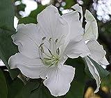 10 Seeds Bauhinia variegata White Orchid Tree, Buddhist Bauhinia