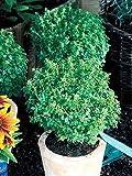 Basil Boxwood Ocimum basilicum 1,000 seeds