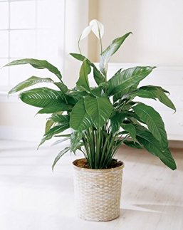 Image result for peace lily in home
