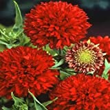 100 seeds of gaillardia pulchella Red Plume Garden Starts Nursery