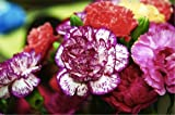Chinese Carnation 'Heddewigii Gaiety XL' (Dianthus Chinensis L.) Flower Plant Seeds,Biennial Heirloom