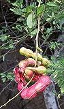 9EzTropical - Guamuchil - Pithecellobium Dulce - 1 Feet - Ship in 1 Gal Pot