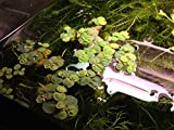 6 Red Root Floater (Phyllanthus Fluitans), Live Aquarium/Aquatic/Floating/ Pond/Beginner Plant, Aquascaping,planted tank ... by G'z