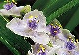 25 Seeds Tradescantia Spiderwort Virginiana Perennial