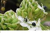 Ornithogalum Arabicum (10 Bulbs) Star of Bethlehem or Arabian Starflow