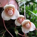 Potato001 20 Pcs Monkey Face Orchid Flower Seeds Bonsai Home Gardening Plant Seed