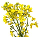 Yellow Mustard - 12,500 Seeds - Wonderful Field Flower, Vineyards, Nitrogen Fixing Cover Crop
