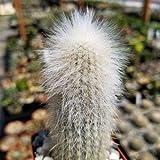 1 Starter Plant of Cleistocactus Straussii