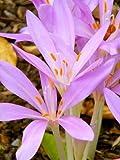 10 AUTUMN CROCUS Colchicum Autumnale Meadow Saffron Flower Seeds