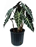 PlantVine Alocasia amazonica 'Polly', African Mask Elephant Ear - Medium - 6 Inch Pot (1 Gallon), 4 Pack, Live Plant