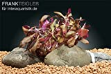 'Dennerle Plant It Invitro Live Aquarium Plant - Alternanthera Reineckii Mini