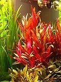 AquaLeaf Aquatics Alternanthera Reineckii VAR. Roseafolia   Telanthera – Easy Red Plant