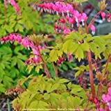 """shade dicentra GOLD HEART Bleeding Heart pink 2.5"""" pot ☆1 Live Potted Plant☆"""