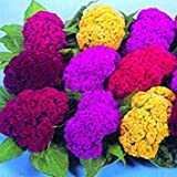 SD1244 Mix Cockscomb Seeds, Celosia Cristata Seeds, Non-Genetically Modified Seeds (100 Seeds)