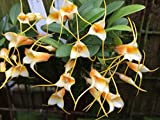 Masdevallia sotoana - Orchid Plant - Miniature - Indigenous to Ecuador