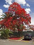 Brachychiton Acerifolius 7 OR 50 Seeds, Illawarra Flame Tree, Kurrajong / USA