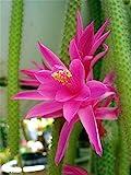 "Rare Rattail Cactus - Aporocactus - Very Easy to Grow - 4"" Hanging Basket Pot from jmbamboo"