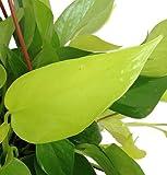 "Hirt's Gardens Very Very Easy to Grow Epipremnum - 4"" Pot Neon Devil's Ivy - Pothos"