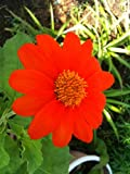 50 MEXICAN SUNFLOWER 'TORCH' Tithonia Rotundifolia Flower Seeds