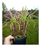 Exotic Plants Drosera capensis - Cape-Sundew - 10 seeds