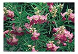Desert Willow Seed Packet, 25 count