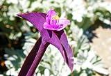 "Tradescantia pallida Purple Heart Two (2) young outdoor/inhouse plants ""Purple Wandering Jew"" Perenniel"