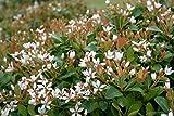 Indian Hawthorn Alba Qty 20 Live Plants Evergreen Shrub