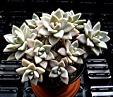 GRAPTOPETALUM PARAGUAYENSE 'MOTHER OF PEARL' - 2 1/4 INCH SUCCULENT PLANT
