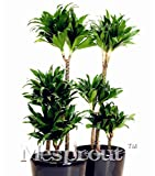 10PCS Dracaena Fragrans Seeds, Potted Balcony, indoor / outdoor pot seed germination rate of 95% mixed colors(Dracaena fragrans)