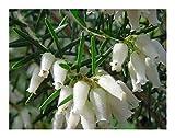 Erica caffra - heath - 15 seeds