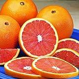 Cara Cara Navel Orange Trees - Large Orange Citrus Trees, Ready to Give Fruit The 1st Year - 1-2 ft.