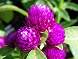 40+ PURPLE GOMPHRENA GNOME FLOWER SEEDS / ANNUAL