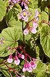 4 Bare Root of Begonia Grandis 'Heron's Pirouette'