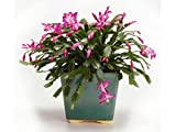 Live Rare Red Christmas Cactus Plant Zygocactus Indoor House Starter Plant
