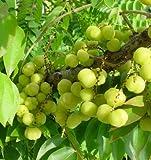 "9EzTropical - Tropical Gooseberry - Phyllanthus acidus - Cây chùm ruot- 8"" to 1 Feet Tall - Ship in 4"" Pot"